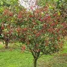 Вишневое дерево фото