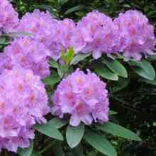 Рододендрон с сиреневыми цветками