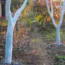 Садовые работы в ноябре-декабре побелка штамбов