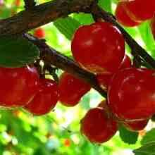 Сорт вишни Брусницына описание