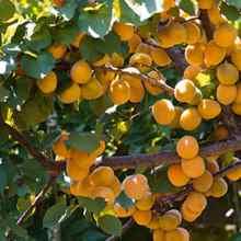 Выращивание абрикоса в средней полосе