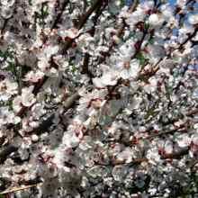 Цветет абрикос в средней полосе