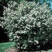 Цветет кустарник аронии черноплодной