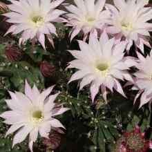Как цветет эхинопсис фото