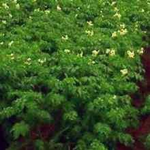 Опыт выращивания картофеля