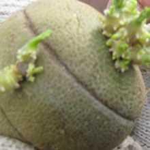 Кольцевой надрез на картофеле при проращивании