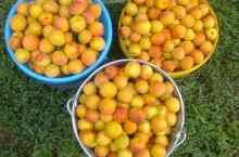 Собран урожай абрикосов