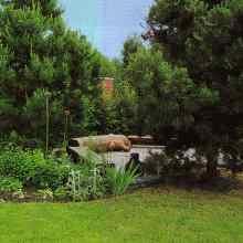 Сосны в саду