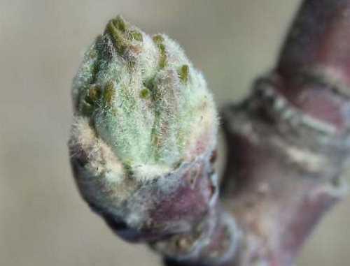 Фенофаза зеленого конуса на яблони