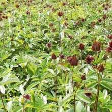 Лечебные свойства сабельника болотного