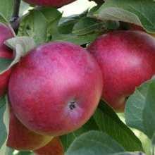 Бордовые сорта яблок