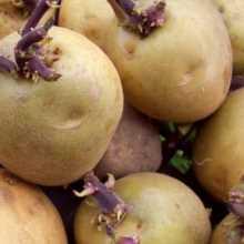 чем обработать картофель перед проращиванием