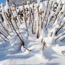 Как уберечь сад от морозов