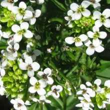 Цветы и плоды кресс-салата