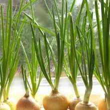 Как вырастить зеленый лук на подоконнике зимой