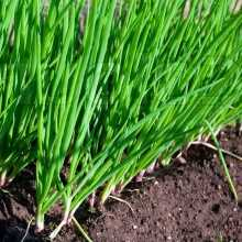 Выращивание лука в гребнях