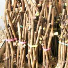 Заготовка и хранение черенков винограда