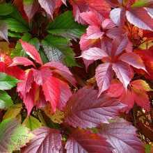Красные листья девичьего винограда