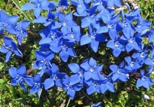 Низкорослые цветы горечавка