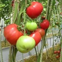Кусты томатов сорта афен f1