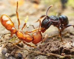 Черный и рыжий муравьи драка