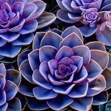 Эхеверия фиолетовая