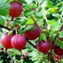 Особенности выращивания кустов крыжовника