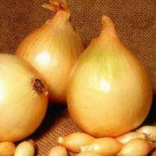 выращивание лука сорта Центурион