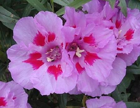годеция цветок фото: