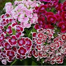 Цветы турецкая гвоздика