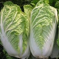 Как выращивать китайскую капусту