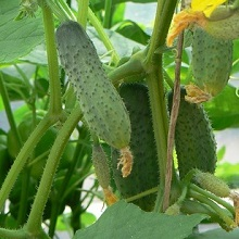 как выращивать огурцы в парнике
