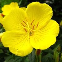 Растение энотера