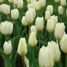 Тюльпаны белые как ухаживать