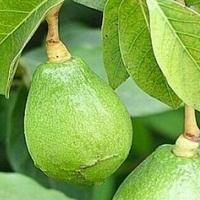 Вырастить авокадо в домашних условиях